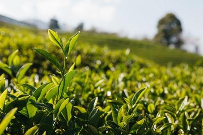 緑茶 種類 特徴